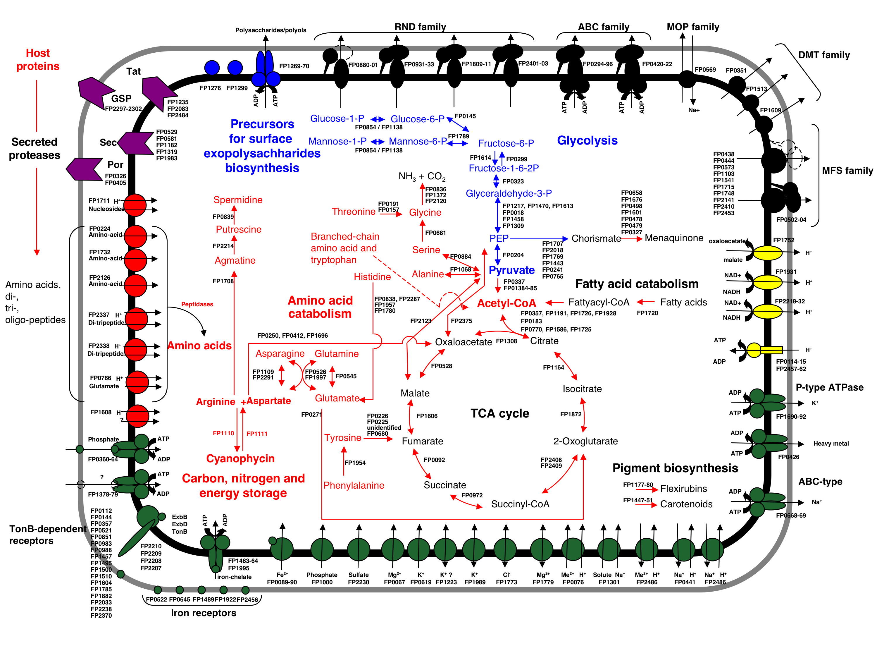Schema of F. psychrophilum metabolism and transport