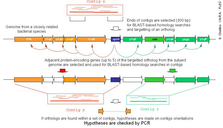 Gap Closure With Genomic Comparison Lactobacillus Sakei
